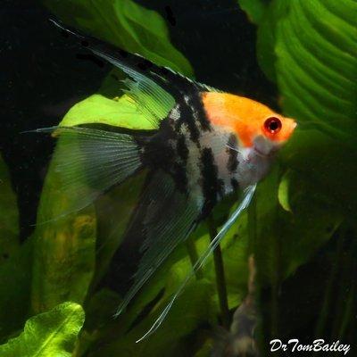 Premium Koi Veiltail Angelfish, Size: 1.5