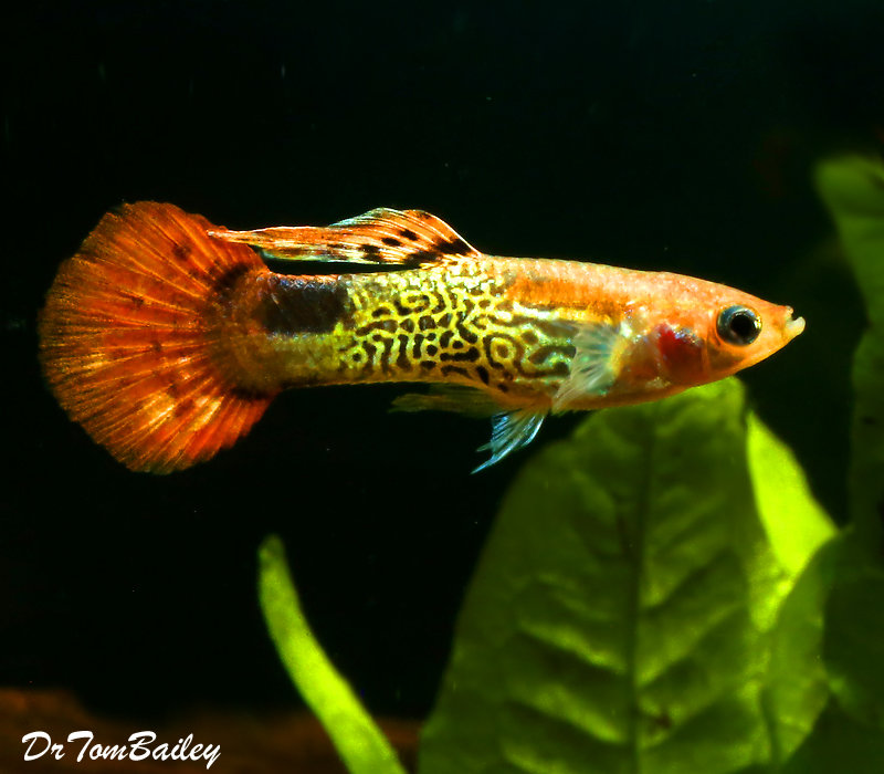 "Premium MALE Red Cobra Fancy Guppy, Size: 1"" to 1.5"""