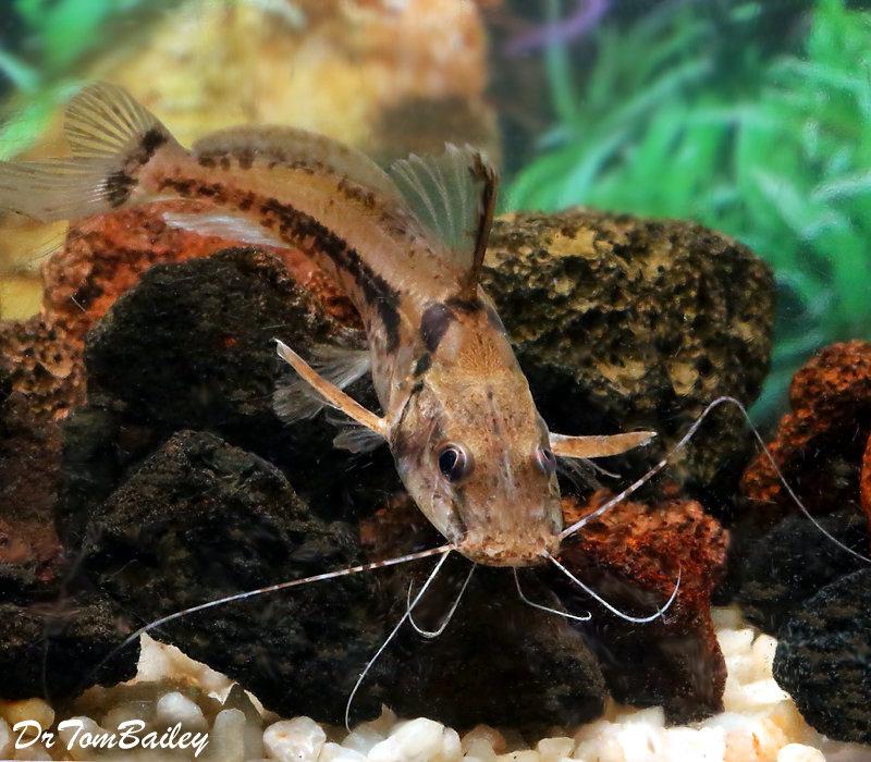 """Premium New, Rare, Horsehead Catfish, Size: 3.5"""" to 4"""""""