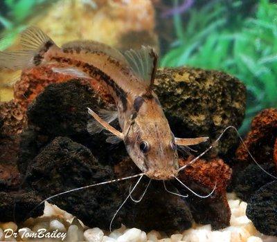 Premium New, Rare, Horsehead Catfish, Size: 3.5