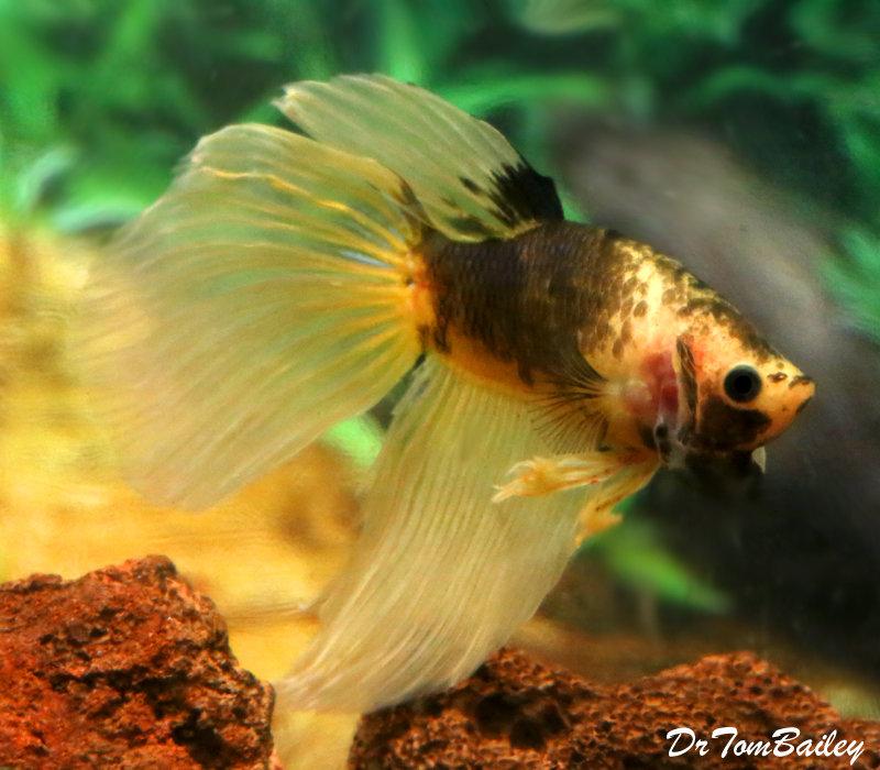 Premium MALE Unique WYSIWYG Yellow and Chocolate Betta Fish