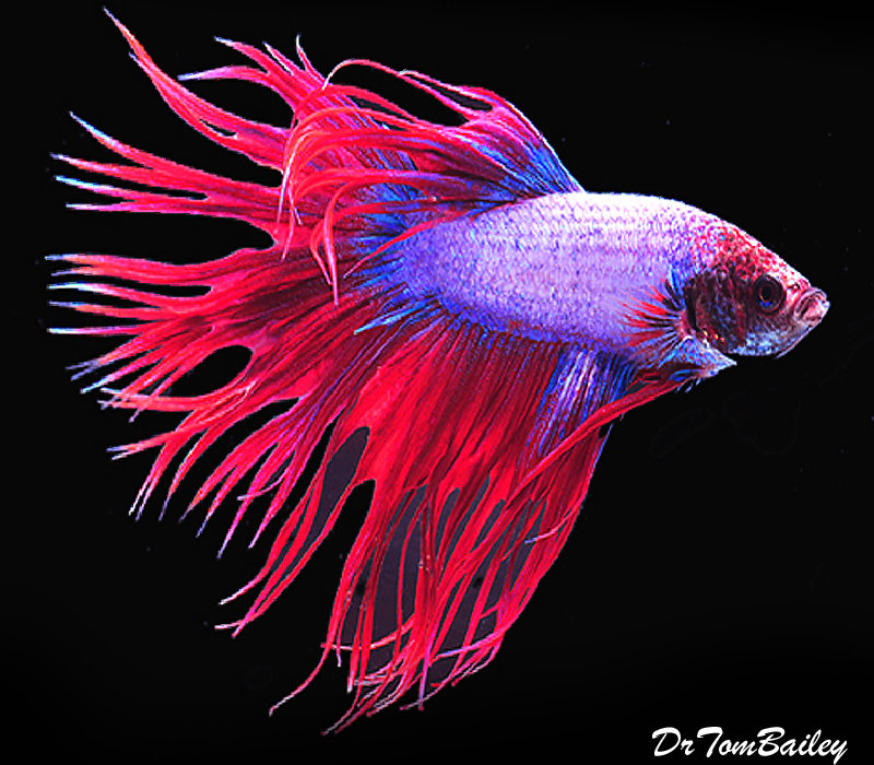 """Premium MALE Cambodian Crowntail Betta, Size: 2.5"""" to 3"""""""