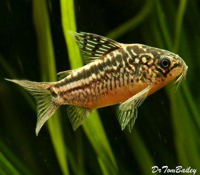 Premium WILD, Elegans Corydoras Catfish, Size: 1