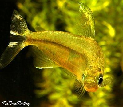 Premium Rare New, Yellow Congo River Tetra, Size: 1