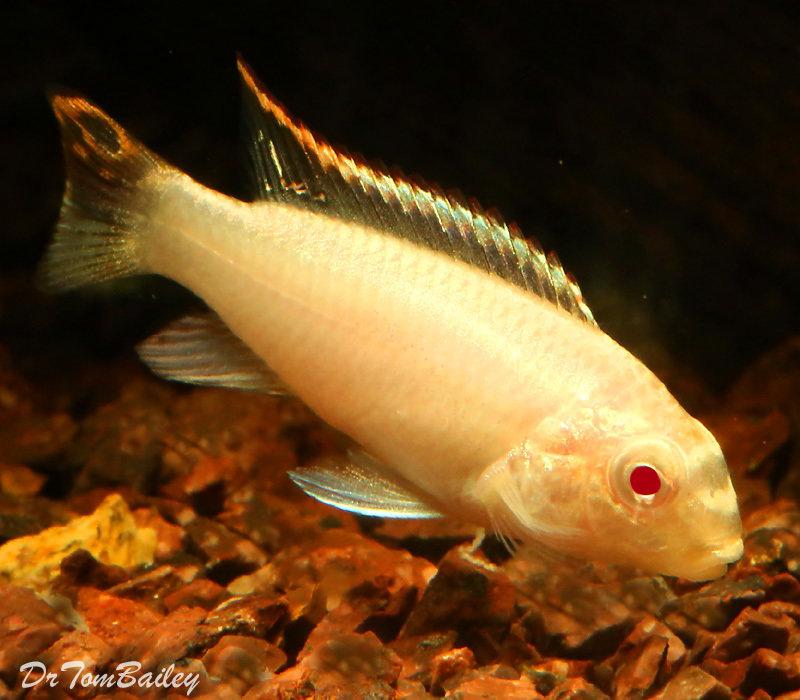 "Premium Albino Kribensis Cichlid, Size: 1"" to 1.2"""