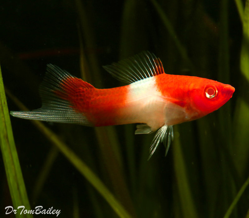 "Premium New & Rare, Kohaku (Koi) Swordtail, Size: 1.5"" to 2"""