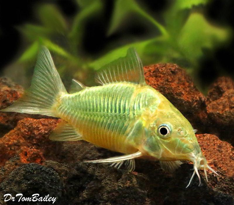 "Premium WILD, Emerald Green Catfish, Corydoras splendens, Size: 1.5"" to 2"""