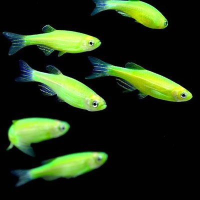 Premium Electric Very-Green GloFish Danio, Size: 1