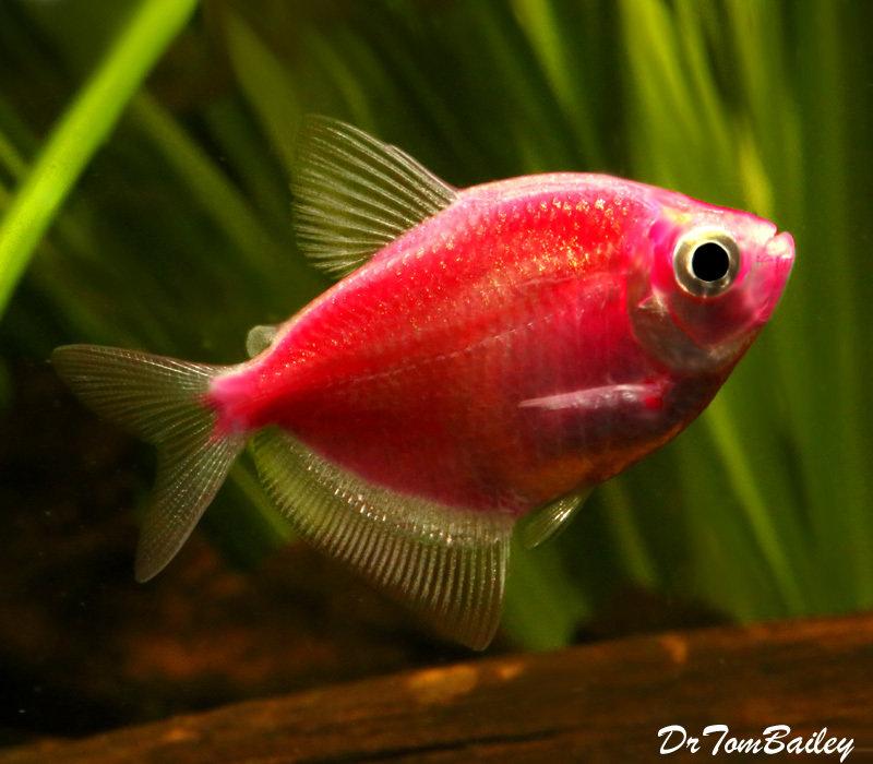 """Premium Starfire Red-Red GloFish Tetra, Size: 1"""" to 1.5"""""""
