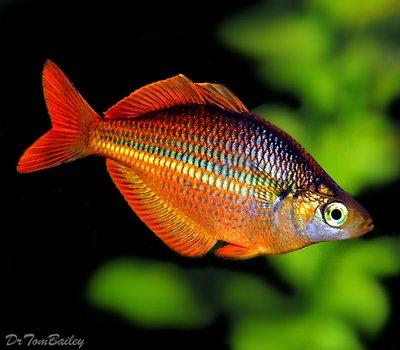 Premium Trifasciata Rainbowfish, Size: 1.5
