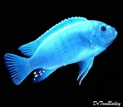 Premium Lake Malawi Cobalt Blue Zebra Mbuna Cichlid, Size: 2