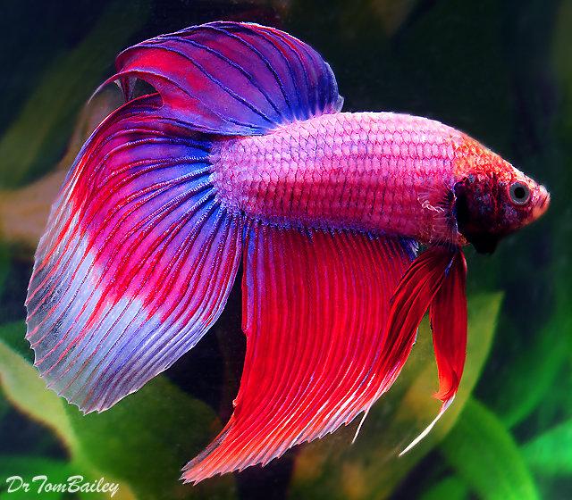 """Premium MALE Cambodian Betta Fish, Size: 2.5"""" to 3"""""""