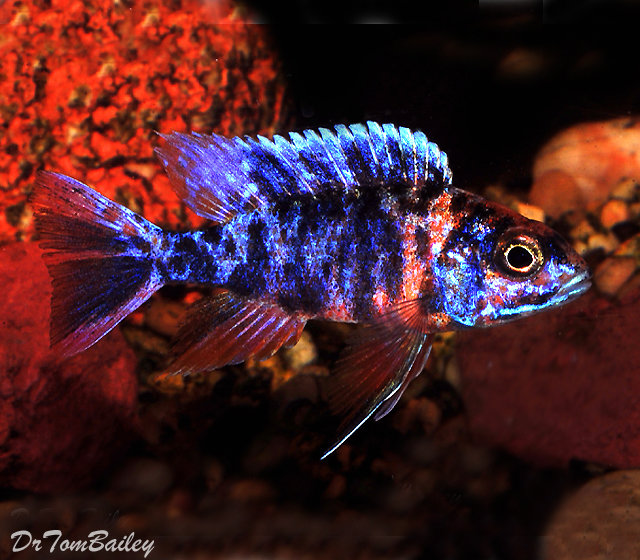 "Premium Lake Malawi OB Peacock, Size: 2"" to 2.5"""