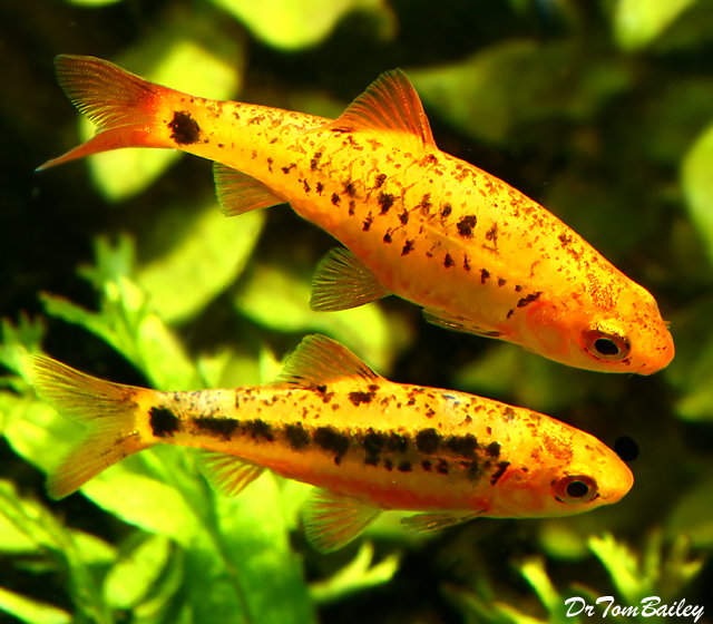 "Premium Gold Barb, Size: 1"" to 1.5"""