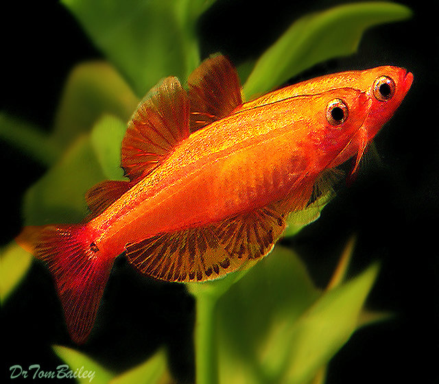 "Premium Golden White Cloud, Nano Fish, Size: 1"" to 1.2"""