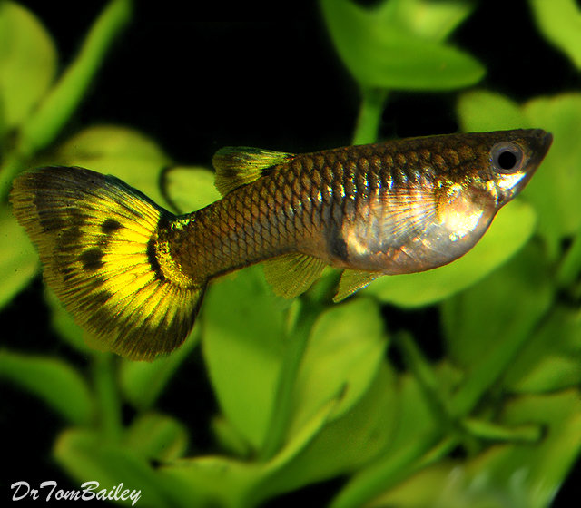 "Premium FEMALE Fancy Assorted Guppies, Size: 1"" to 1.2"""