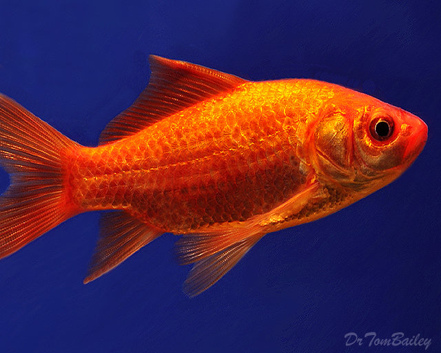 """Premium Red Pond Comet, Size: 3"""" to 3.5"""""""