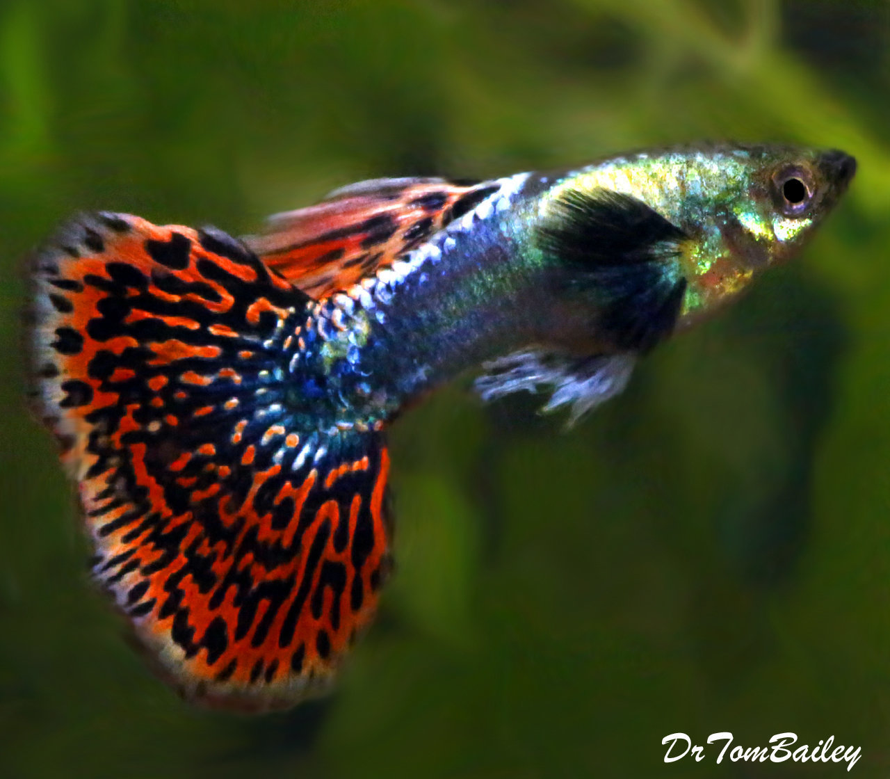 "Premium MALE Rare Dumbo Ear Fancy Guppy, Size: 1"" to 1.2"""