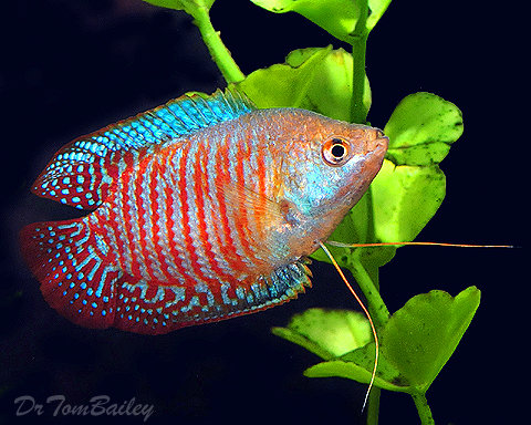 "Premium MALE Young Dwarf Gourami, Size: 2"" to 2.5"""