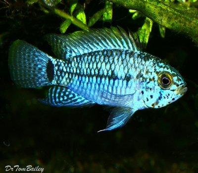 Premium Blue Face Apistogramma Dwarf Cichlid, Size: 1