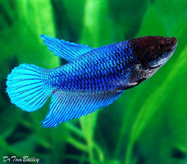 "Premium FEMALE Blue Betta Fish, Size: 1"" to 1.2"""