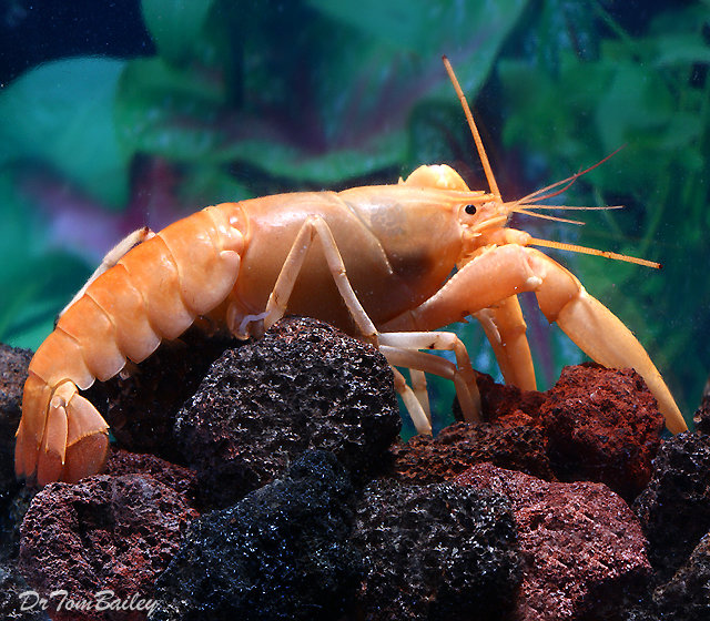"""Premium Rare Freshwater Apricot Lobster, Size: 3"""" to 4"""""""