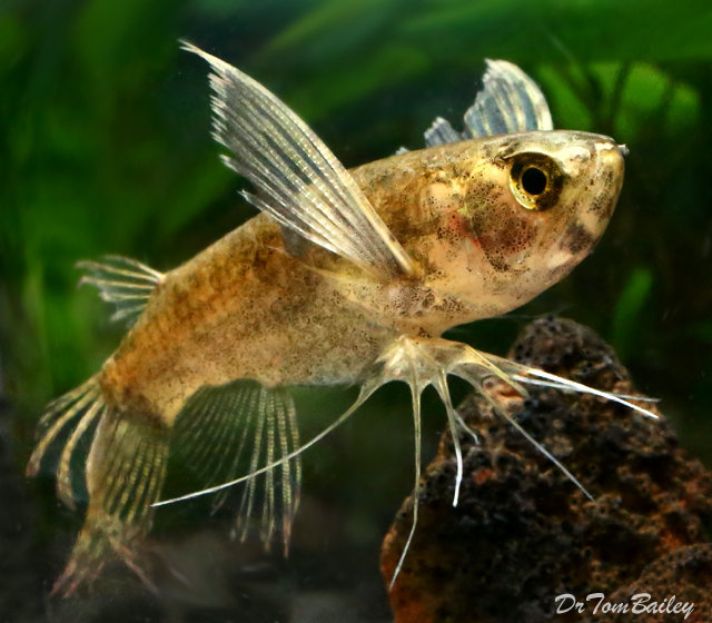 """Premium WILD, African Butterfly Fish, Size: 2.5"""" to 3"""""""