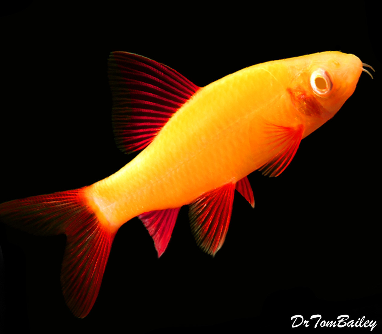 "Premium Sunburst Orange GloFish Rainbow Shark, Size: 2"" to 2.5"""