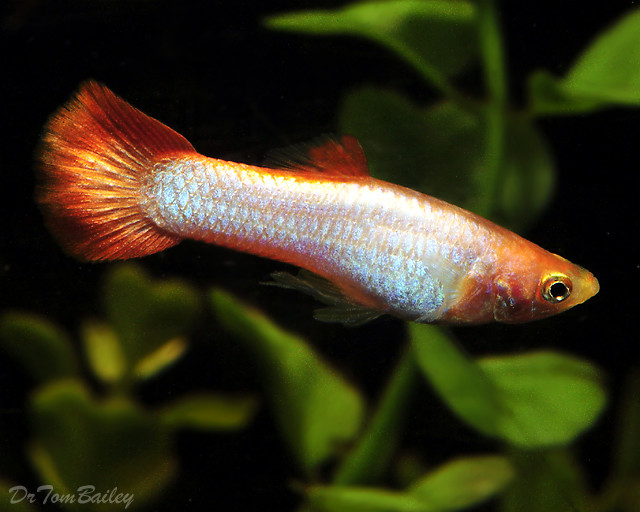 """Premium MALE Silver Redtail Fancy Guppy, Size: 1"""" to 1.5"""""""