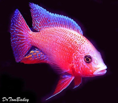 Premium Lake Malawi Firefish Peacock Cichlid, Size: 2