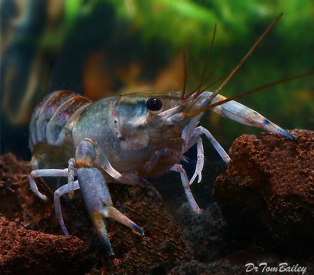 "Premium Freshwater Australian Yabbie Lobster, Size: 2"" to 2.5"""