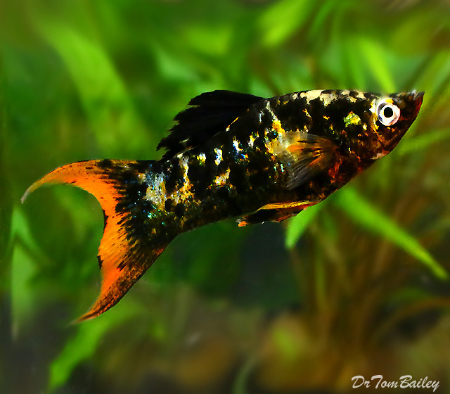 """Premium New and Rare, Orange Tail Lyre Molly, Size: 2"""" to 2.5"""""""