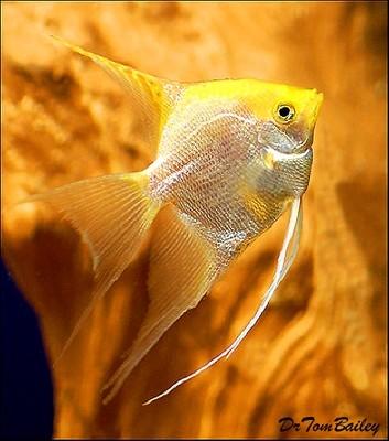 Premium Pearlscale Angelfish