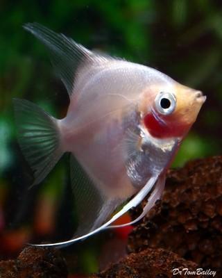Premium Blushing Angelfish, Size: 1.5