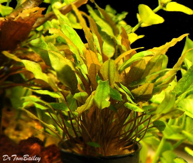 "Premium Cryptocoryne Mioya, Potted Plant, Size: 3"" to 4"""