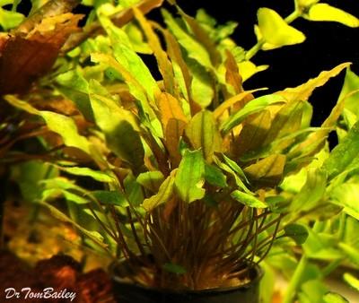 Premium Cryptocoryne Mioya, Potted Plant, Size: 3