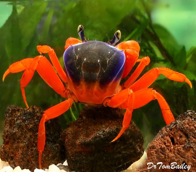 "Premium WILD, Freshwater Patriot Crab, Size: 2"" to 2.5"""