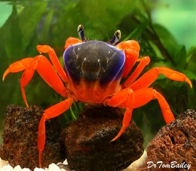 Premium WILD, Freshwater Patriot Crab, Size: 2