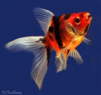 Premium Calico Fantail Goldfish, Size: 2
