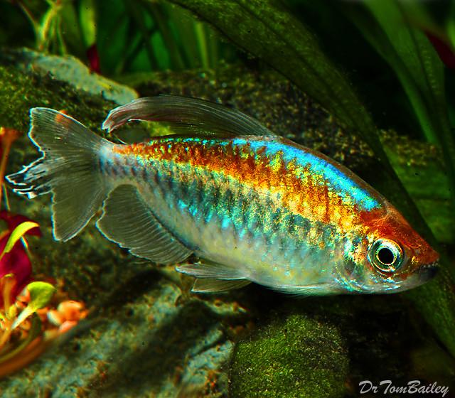"""Premium Congo Tetra, Phenacogrammus interruptus, Size: 1"""" to 1.5"""""""