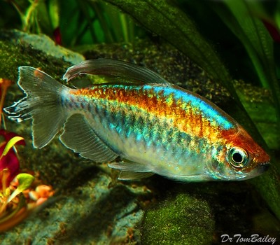 Premium Congo Tetra, Phenacogrammus interruptus, Size: 1