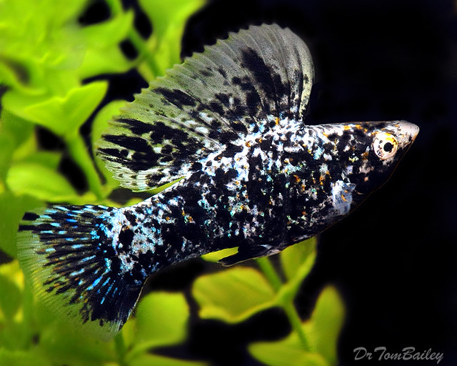 "Premium MALE Marbled Sailfin Molly, Size: 2"" to 2.5"""