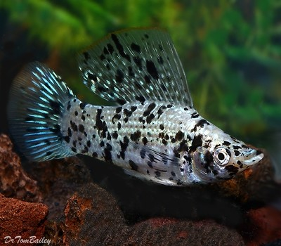 Premium MALE Dalmatian Sailfin Molly, Size: 2