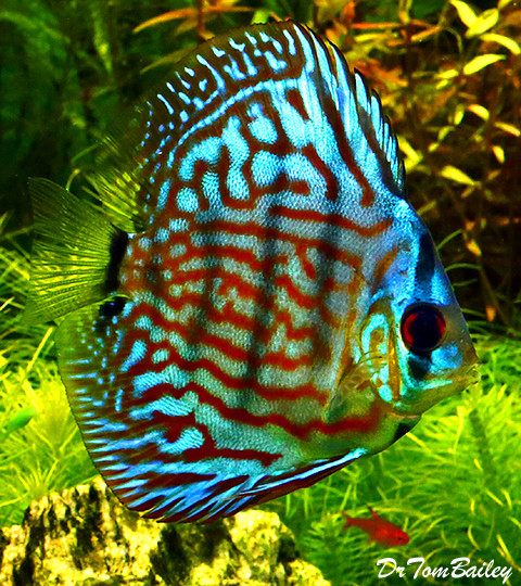 Premium Red & Blue Discus