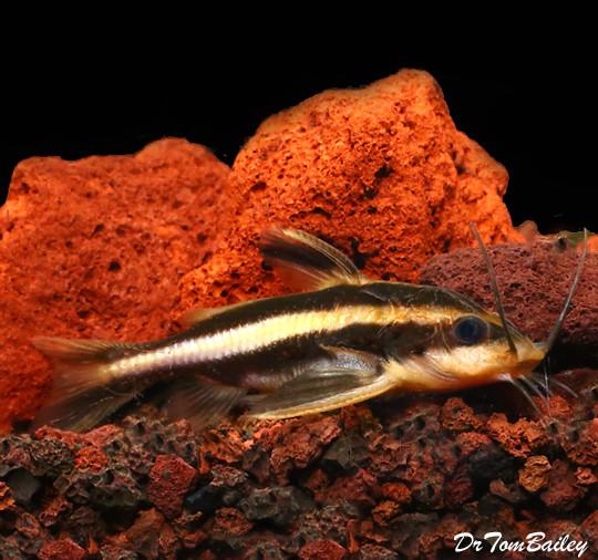 "Premium Striped Raphael Talking Catfish, Tank Raised, Size: 2.5"" to 3"""