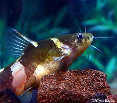 Premium Asian Bumblebee Catfish, Size: 3