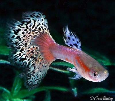 Premium MALE Pink Variegated Fancy Guppy, Size: 1