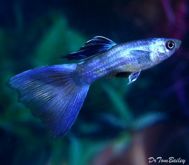 "Premium MALE Moscow Blue Fancy Guppy, Size: 1.5"" to 2"""