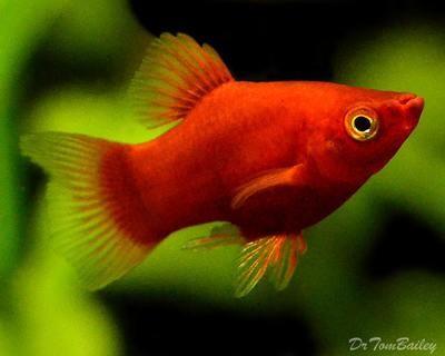 Premium Dwarf Coral Red Platy, Size: 1