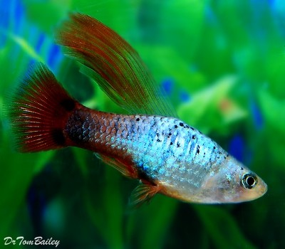 Premium New and Rare, Coral Blue Hifin Platy, Size: 1